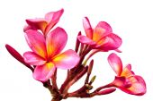 Pink Plumeria Isolated — Stock Photo