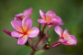 Plumeria rose — Photo