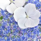Hydrangea Closeup — Stock Photo