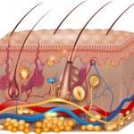 ������, ������: Skin anatomy