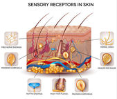 Sensory receptors in the skin — Stock Vector