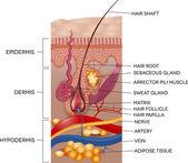Labeled Skin and hair anatomy — Stok Vektör
