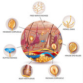 Skin anatomy and Sensory receptors in the skin — Stock Vector