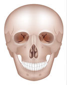 Human skull detailed anatomy — Stock Vector
