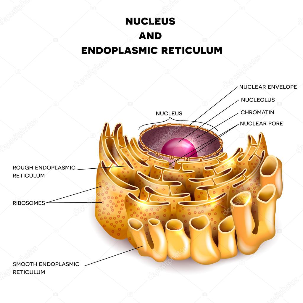 endoplasmic reticulum drawing