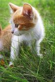 Yeşil çimenlerin üzerinde yavru kedi — Stok fotoğraf