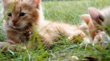 緑の草に子猫をリラックスします。 — ストックビデオ
