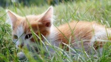 Relax kitten on green grass — Stock Video