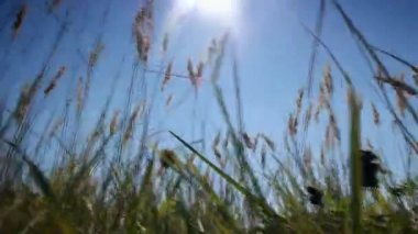Wild grass growing in a field of the sun and breeze — Stock Video