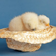Two baby chicks taking a nap in a tiny straw cowboy hat — Stock Photo #64329721