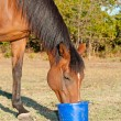 Bay horse eating feed from a bucket in pasture — Stock Photo #64326077