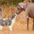 Cat and big dog sniffing noses — Stock Photo #64328239