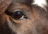 Soulful eye of a dark bay Arabian horse — Stock Photo