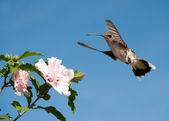 Ruby throated Hummingbird getting ready to feed on a light pink Hibiscus flower — Stock Photo
