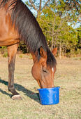Bay horse eating feed from a bucket in pasture — Fotografia Stock