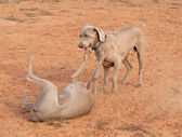 Two Weimaraner dogs playing — Stock Photo