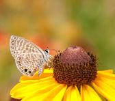 Tiny marine Blue butterfly feeding on a Black-eyed Susan flower — Stock Photo