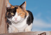 Calico cat on wooden porch, looking intently at the viewer — Stock Photo