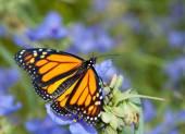 Dorsal weergave van een Monarch vlinder op een mooie blauwe Tradescantia bloem — Stockfoto
