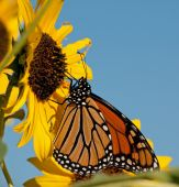 Migrating Monarch butterfly feeding on a wild sunflower floret — Stock Photo