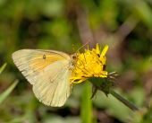 Orange Sulphur butterfly feeding on a Dandelion — Stock Photo