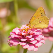 Orange sulphur butterfly in summer garden — Stock Photo