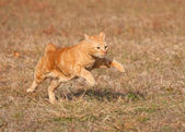 Orange tabby cat running across autumn grass field in high speed — Stock Photo