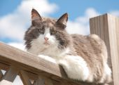 Diluted calico cat resting on porch railing against cloudy spring sky, looking at the viewer — Stock Photo