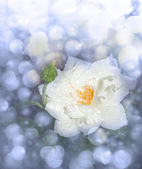 Dreamy image of a white rose after rain, in blue tone — Stock Photo
