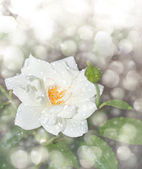 Dreamy image of a delicate white rose with raindrops — Stock Photo