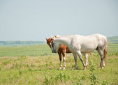Two horses sniffing noses in a prairie pasture on a hazy summer day — Stock Photo