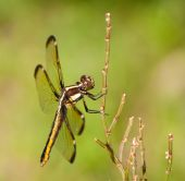 Female Spangled Skimmer, Libellula cyanea, resting on a grass stalk — Stock Photo