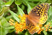 Great Spangled Fritillary butterfly, Speyeria cybele, feeding on butterfly weed flower — Stock Photo