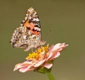 Vanessa Cardui, Distelfalter Schmetterling Fütterung auf eine Blume vor grünem Hintergrund — Stockfoto