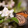 ������, ������: Monarch butterfly feeding on a early spring apple blossom pollinating it