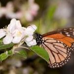 Постер, плакат: Monarch butterfly feeding on a early spring apple blossom pollinating it