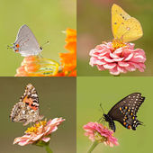 Collage of four butterflies with tiny Gray Hairstreak, Orange Sulphur, Painted Lady and a Black Swallowtail, on light and dark green backgrounds — Stock Photo