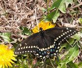 Weibliche schwarze Schwalbenschwanz Fütterung auf eine kleine Löwenzahn im sehr zeitigen Frühjahr — Stockfoto