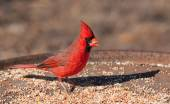 Bright red Northern Cardinal male eating seeds at a feeding station in winter — Stock Photo
