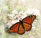 Dreamy image of a Viceroy butterfly feeding on a white Grape Myrtle — Stock Photo