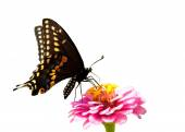 Eastern Black Swallowtail butterfly on a pink Zinnia on white background — Stock Photo