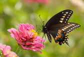 Eastern Black Swallowtail butterfly, Papilio polyxenes asterius, feeding on a pink Zinnia bloom — Fotografia Stock