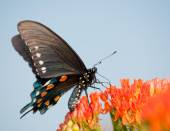Green Swallowtail butterfly on orange Butterflyweed against blue sky — Stock Photo
