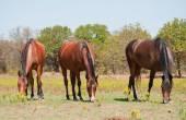 Three shiny bay horses grazing in summer pasture — Стоковое фото