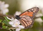 Polinizar una flor de la manzana en la primavera de la mariposa monarca — Foto de Stock