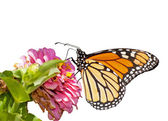 Monarch butterfly feeding on a pink Zinnia, isolated on white — Stock Photo