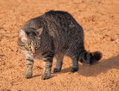 Gray tabby cat arching its back to make itself appear larger to ward off a threat — Stock Photo