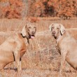 Two Weimaraner dogs sitting in grass against dry brown winter background — Stock Photo #64340455