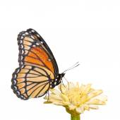 Colorful Viceroy butterfly feeding on a pale yellow Zinnia on white background — Stock Photo