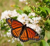 Viceroy butterfly feeding on a cluster of white flowers in a garden — Stock Photo